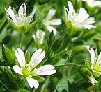 chickweed large