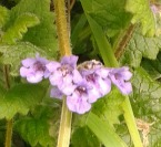 ground ivy large