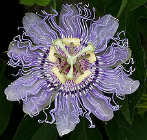 passionflower large
