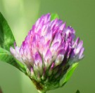 red clover large